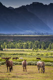 Grazing Horses in the Tetons Stock Image