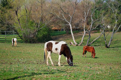 Grazing Horses. Three Grazing Horses In The Morning On A Quiet Midwestern Farm, Southwestern Ohio, USA Royalty Free Stock Photos