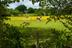 Grazing horses. Watching grazing horses out of hiding at a horse farm Royalty Free Stock Photography