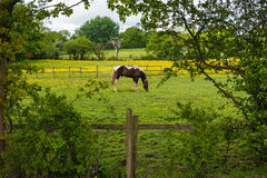 Grazing horses. Watching grazing horses out of hiding at a horse farm Stock Photos
