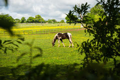 Grazing horses. Watching grazing horses out of hiding at a horse farm Royalty Free Stock Images