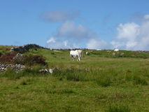 Grazing Horses in Ireland. Grazing white horses in a meadow royalty free stock photos
