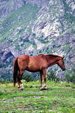 Grazing horses. Wild horses grazing on green grass Stock Images