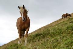 Grazing horses Stock Photography