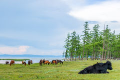 Grazing horses & yak, northern Mongolia Royalty Free Stock Photo