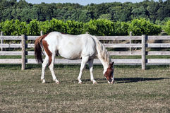 Grazing House. Grazing white horse in corral Stock Images