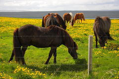 Grazing Icelandic Horses Royalty Free Stock Photography