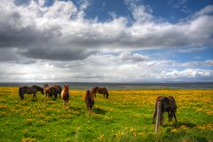 Grazing Icelanic Horses. Herd of grazing horses in Skagastrond Northern Iceland Royalty Free Stock Images