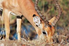 Grazing Impala Royalty Free Stock Images