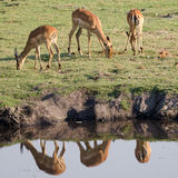 Grazing Impala. Impalas grazing on the grass in front of the water Stock Image