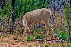 Grazing in the Kaibab Forest. A female Mule Deer grazing on some leafy plants in the Kaibab Forest near the Grand Canyon in Arizona Stock Photography