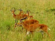 Grazing Kob. Multiple Kob Antelope grazing in the Ugandan countryside royalty free stock photos