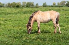 Grazing Konik horse Stock Image