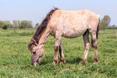 Grazing Konik horse Royalty Free Stock Photos