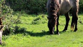 Grazing Konik horses, Bisonbaai, Netherlands stock video footage