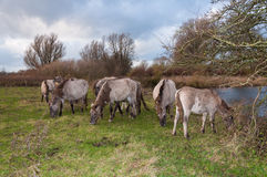 Grazing Konik horses in a Dutch nature reserve Stock Images