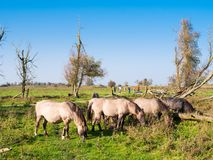 Grazing koniks and people walking in nature reserve Oostvaardersplassen, Flevoland, Netherlands stock photo