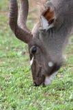 Grazing Kudu Antelope Stock Image