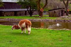 Grazing lama on a farm near pond,  National Showcaves Centre, Brecon Beacons , Wales, UK Royalty Free Stock Images