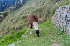 Grazing lama. At the former agricultural terraces at Machu Picchu ruins, Peru stock images