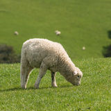 Grazing lamb Royalty Free Stock Images