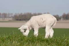 Grazing lamb on a dike Royalty Free Stock Image
