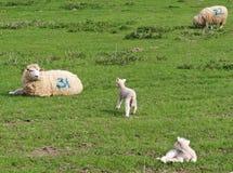 Grazing Lamb Royalty Free Stock Photography