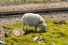 Grazing lamb on Mount Snowdon, Wales, UK. A lamb grazing near the tracks of Snowdon Mountain railway, Snowdonia, Gwynedd, Wales, UK Royalty Free Stock Photo