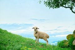 Grazing lamb in mountains Stock Images