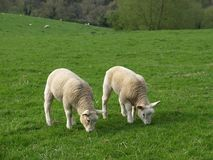 Grazing Lambs. Two Spring Lambs Grazing in a Green Field Stock Image