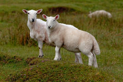 Grazing lambs Stock Images