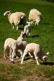 Grazing lambs with ewes. Picture of grazing lambs with ewes in background Stock Image