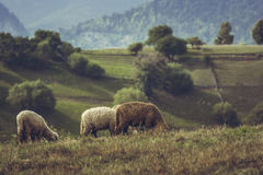Grazing lambs Stock Photography