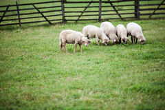 Grazing lambs in the green garden. At spring Stock Photo