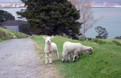 Grazing lambs near pathway. Curious lambs grazing near pathway on the hillside Mount Maunganui. Tauranga. New Zealand stock image