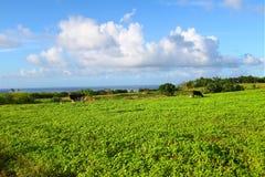 Grazing Land of Saint Kitts Stock Images