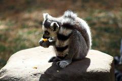 Grazing Lemur royalty free stock images