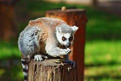 Grazing Lemur royalty free stock photography