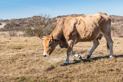 Grazing light brown cow with horns Stock Photography