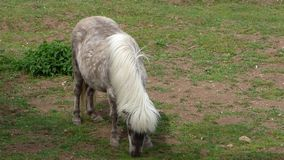 Grazing light brown pony stock footage
