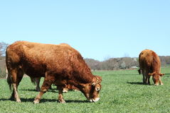 Grazing Limousin Bull Profile Horizontal. Profile of a large Limousin bull bred for beef grazing in a green pasture with a cow Royalty Free Stock Photography