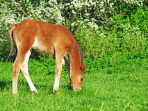Grazing  little  bay Hanoverian foal Stock Photos