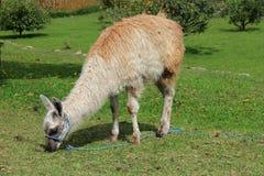 Grazing llama in Cuenca, Ecuador. A tethered llama grazes on the grass in Pumapungo Park in Cuenca, Ecuador stock photography