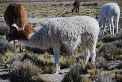 Grazing llamas Stock Photo