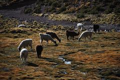 Grazing llamas Royalty Free Stock Images