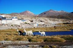 Grazing llamas stock photo