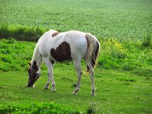 Grazing Love. This is a painted horse in a pasture eating grass one summers day Stock Photos