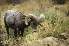 Bighorn Sheep Ram Grazes in Joshua Tree National Park. Grazing male ram big horn sheep in Joshua Tree National Park in California USA stock photos