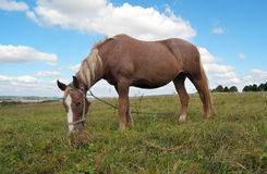 Grazing mare Royalty Free Stock Images