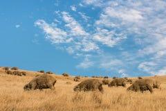 Grazing merino sheep against blue sky Royalty Free Stock Image